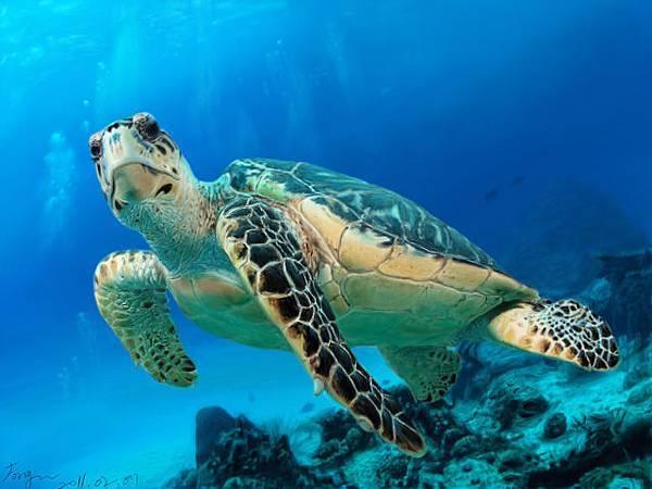 照片臨摹手繪-海龜
