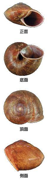 01斯文豪氏大蝸牛.JPG