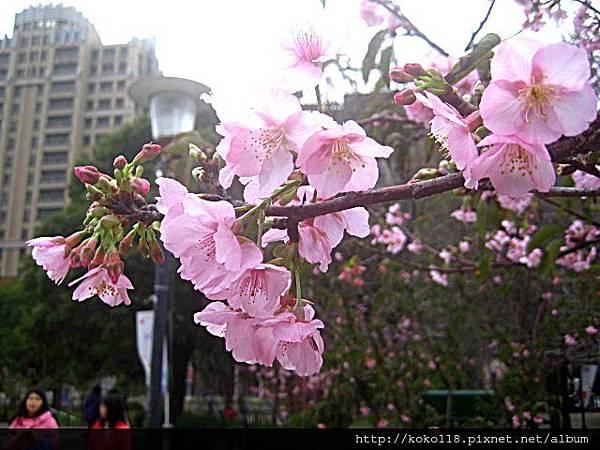 103.2.8 新竹公園-河津櫻15.JPG