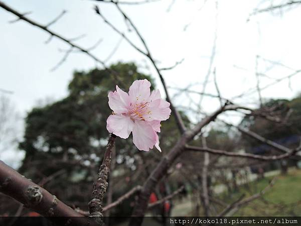 106.2.5 新竹公園-河津櫻6.JPG