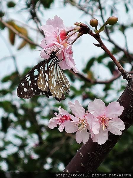 106.3.4 新竹公園-河津櫻,淡小紋青斑蝶5.JPG