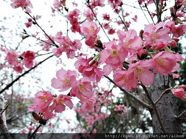 106.3.12 新竹公園-山櫻花7.JPG