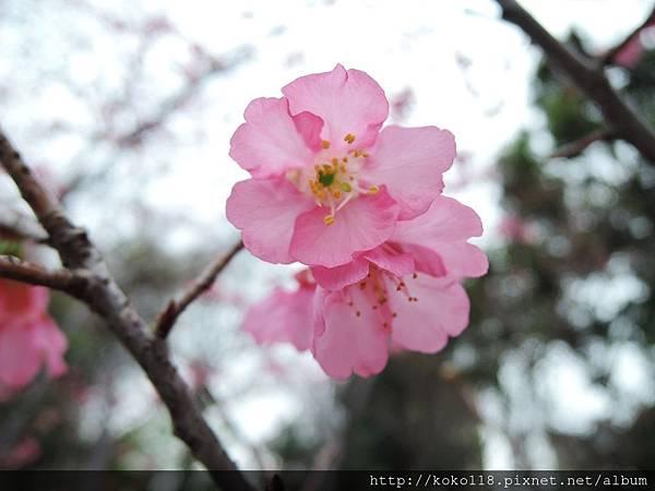 106.3.12 新竹公園-山櫻花8.JPG