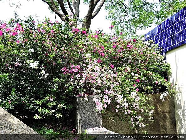 106.4.8 新竹公園-杜鵑花.JPG