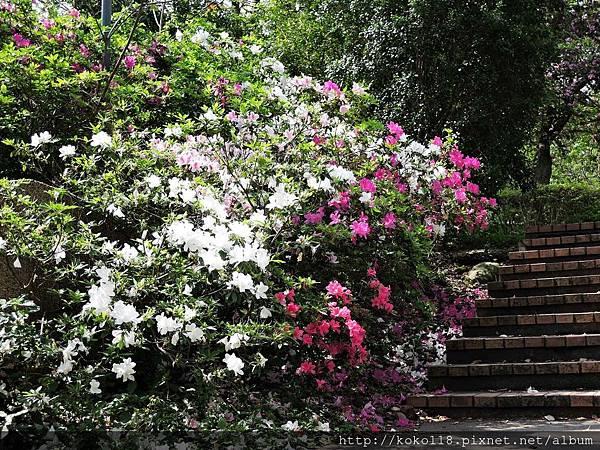 106.4.8 新竹公園-杜鵑花1.JPG