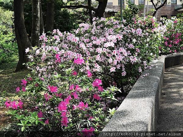 106.4.8 新竹公園-杜鵑花9.JPG