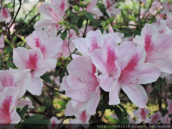 106.4.8 新竹公園-杜鵑花11.JPG