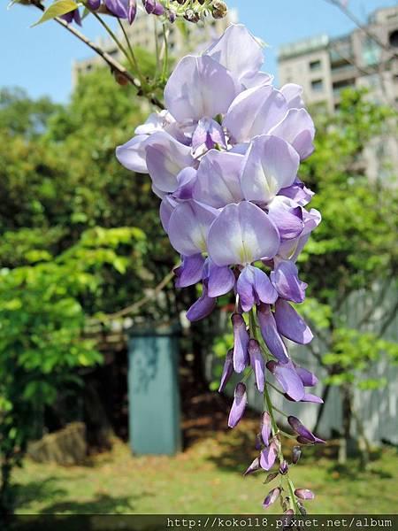 106.4.8 新竹公園-紫藤.JPG