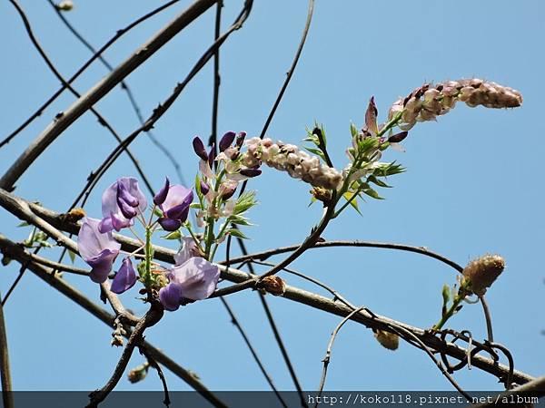 106.4.8 新竹公園-紫藤3.JPG