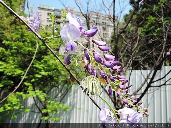 106.4.8 新竹公園-紫藤5.JPG