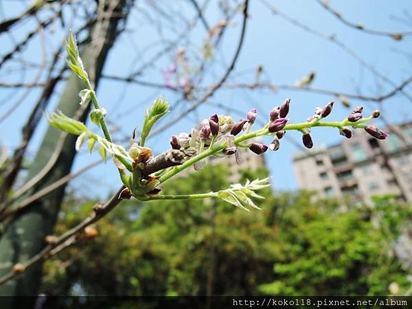 106.4.8 新竹公園-紫藤6.JPG