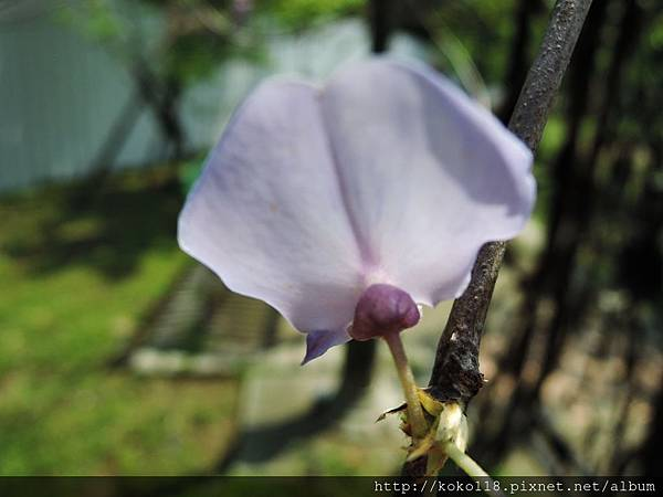 106.4.8 新竹公園-紫藤8.JPG