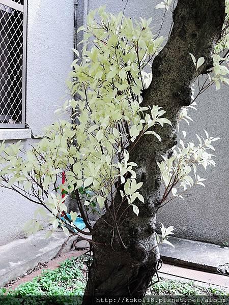 106.4.9 交通大學博愛校區-榕樹.JPG