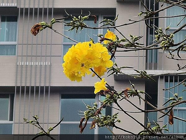 106.4.15 一品公園-黃花風鈴木.JPG