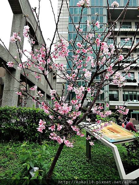 106.4.15 國稅局新竹市分局-富士櫻.JPG