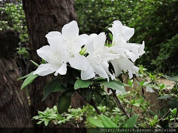 106.4.16 新竹公園-杜鵑花.JPG