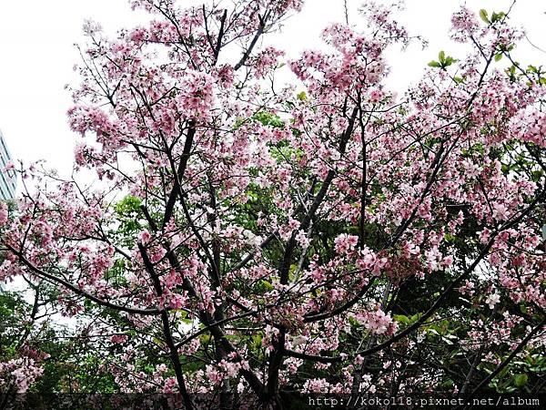 106.4.16 新竹公園-富士櫻1.JPG