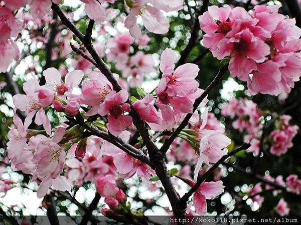 106.4.16 新竹公園-富士櫻3.JPG