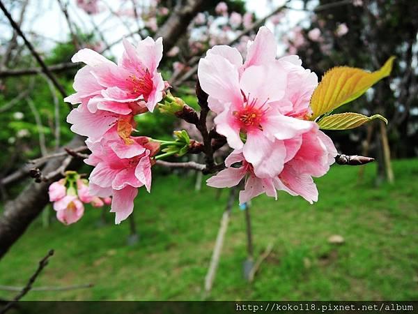 106.4.16 新竹公園-富士櫻5.JPG