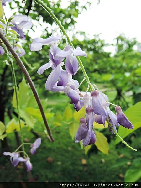 106.4.16 新竹公園-紫藤2.JPG