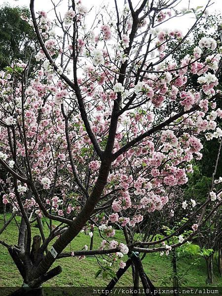 106.4.16 新竹公園-墨染櫻.JPG