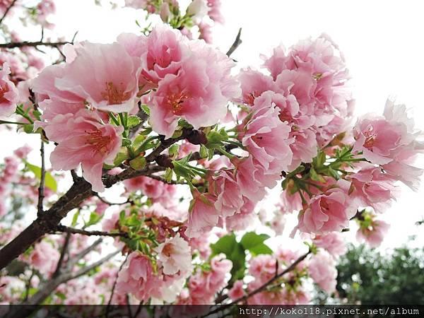 106.4.16 新竹公園-墨染櫻1.JPG