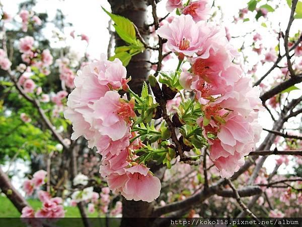 106.4.16 新竹公園-墨染櫻2.JPG