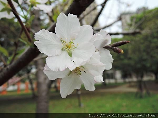 106.4.16 新竹公園-墨染櫻6.JPG