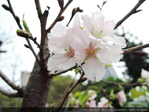 106.4.16 新竹公園-墨染櫻8.JPG