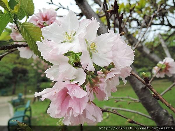 106.4.16 新竹公園-墨染櫻9.JPG