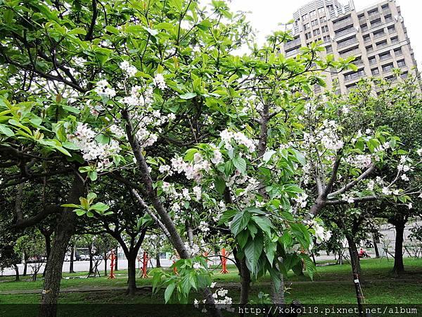 106.4.23 新竹公園-吉野櫻.JPG