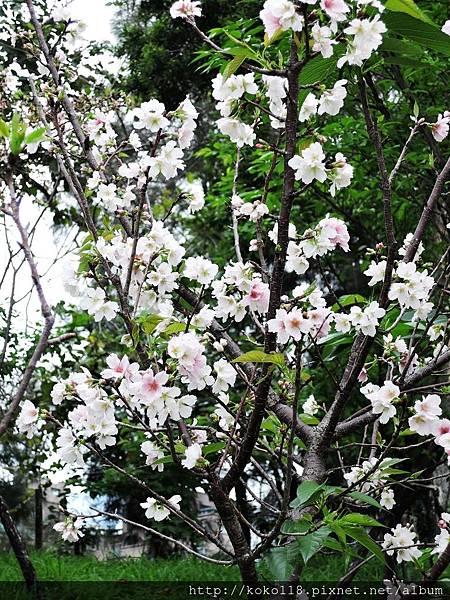106.4.23 新竹公園-吉野櫻4.JPG