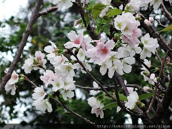 106.4.23 新竹公園-吉野櫻5.JPG