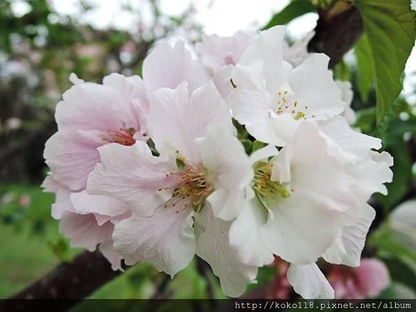 106.4.23 新竹公園-吉野櫻7.JPG