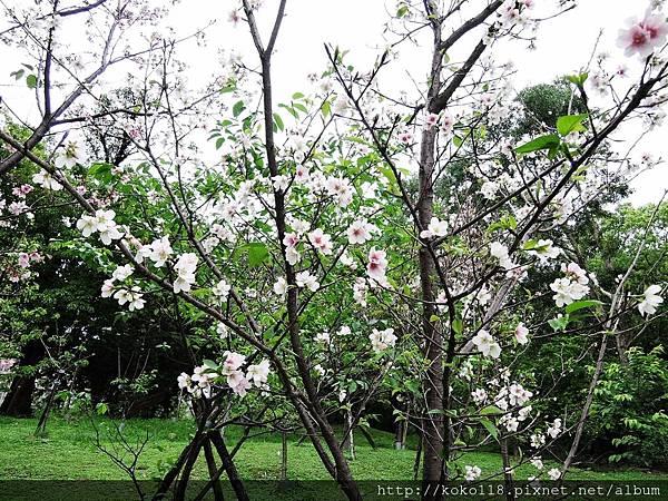 106.4.23 新竹公園-吉野櫻9.JPG
