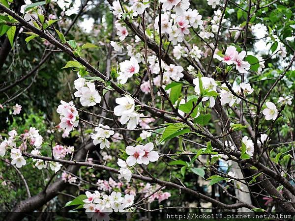 106.4.23 新竹公園-吉野櫻10.JPG