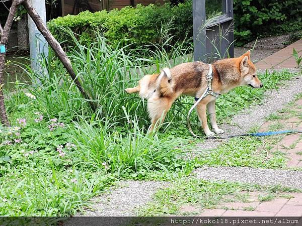 106.4.23 新竹公園-柴犬.JPG