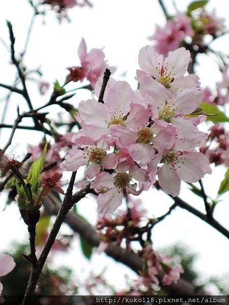 106.4.23 新竹公園-富士櫻1.JPG