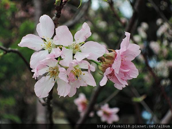 106.4.23 新竹公園-富士櫻2.JPG