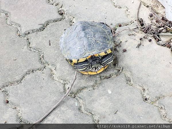 106.4.23 麗池-人行道上的烏龜.JPG