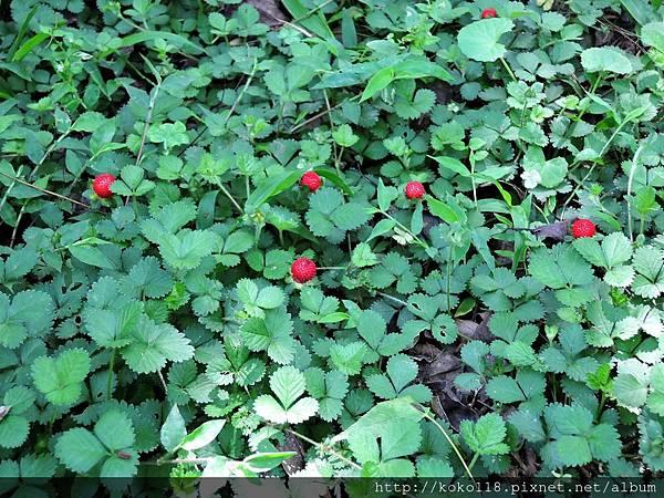 106.4.29 新竹高中-蛇莓.JPG