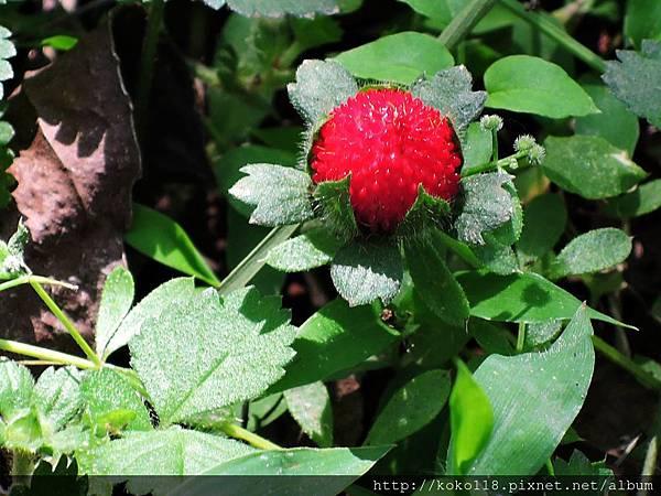 106.4.29 新竹高中-蛇莓2.JPG