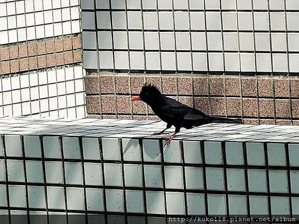 106.4.30 赤土崎公園-紅嘴黑鵯.JPG