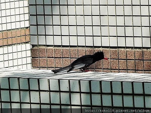 106.4.30 赤土崎公園-紅嘴黑鵯1.JPG