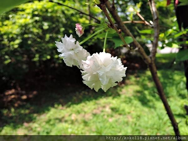 106.5.1 新竹公園-松月櫻5.JPG