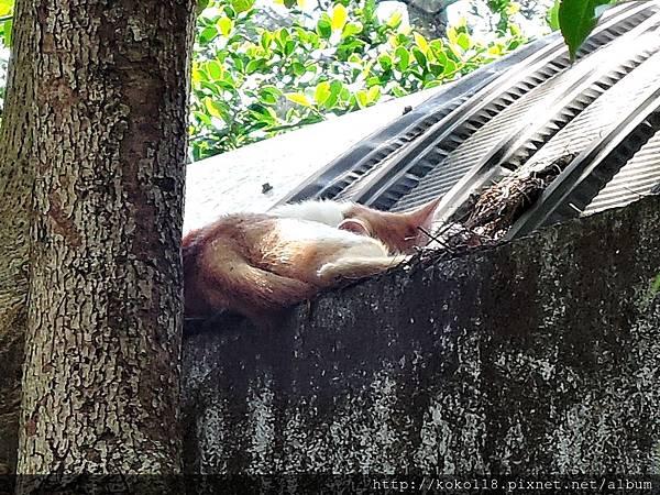 106.5.1 新竹公園-動物園屋頂的貓.JPG