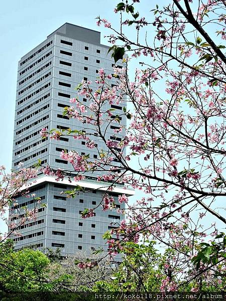 106.5.1 新竹公園-富士櫻.JPG
