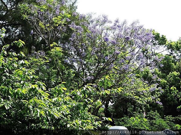 106.5.1 新竹公園-藍花楹3.JPG