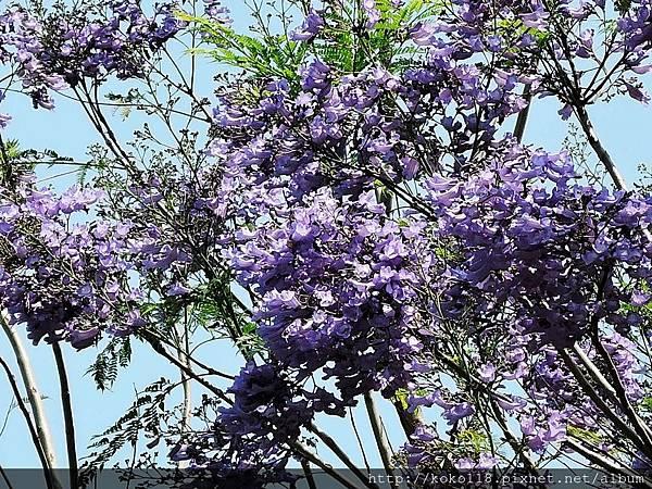 106.5.1 新竹公園-藍花楹6.JPG