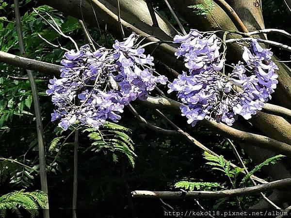 106.5.1 新竹公園-藍花楹8.JPG
